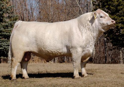 واردات گاو از کشور فرانسه
