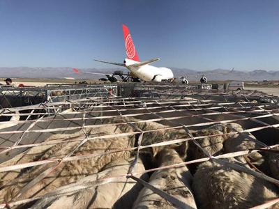 ۲۱ نکته ضروری در پروار بندی گوسفند و گاو